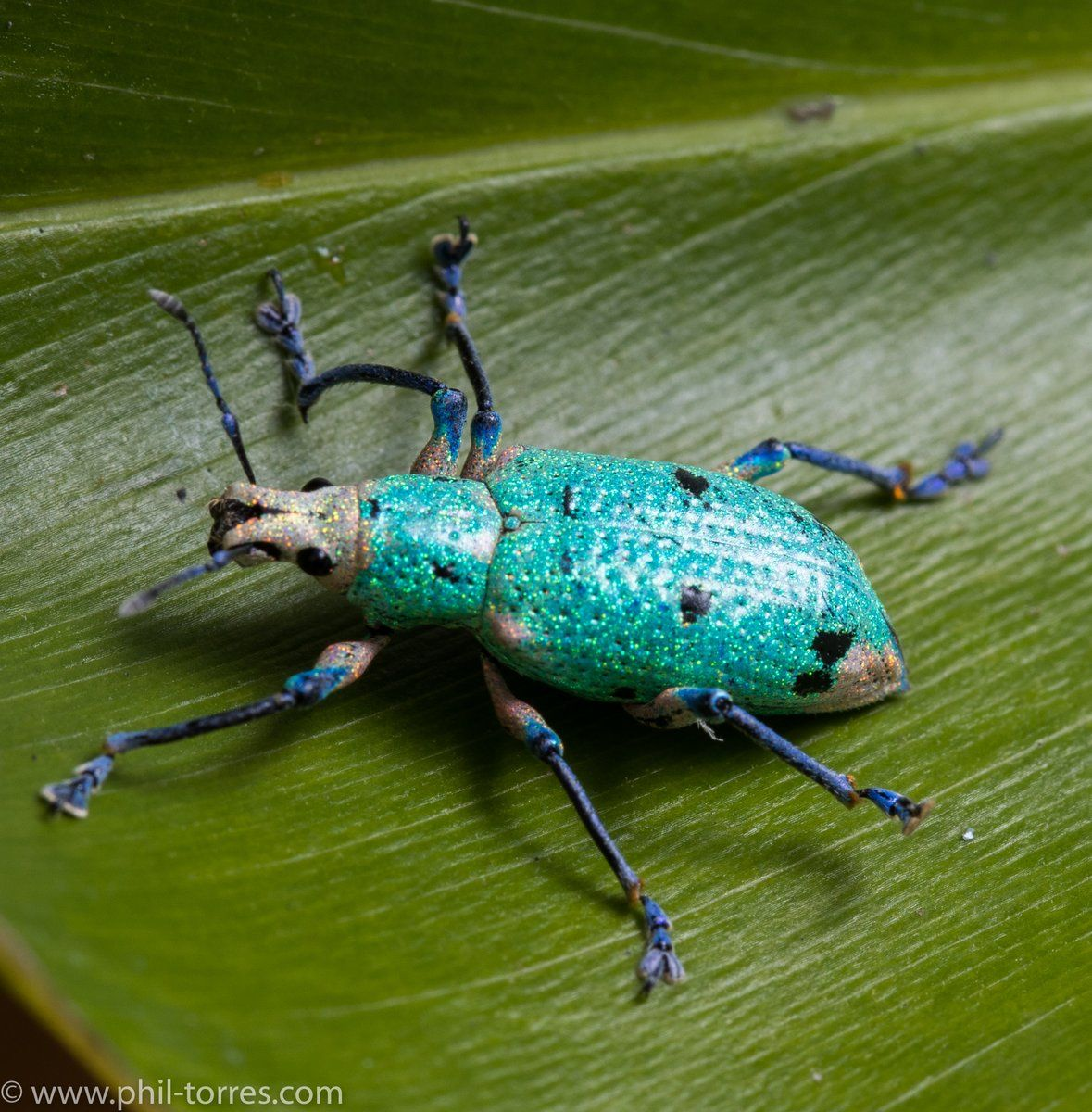 May green beetle - amazing handsome man