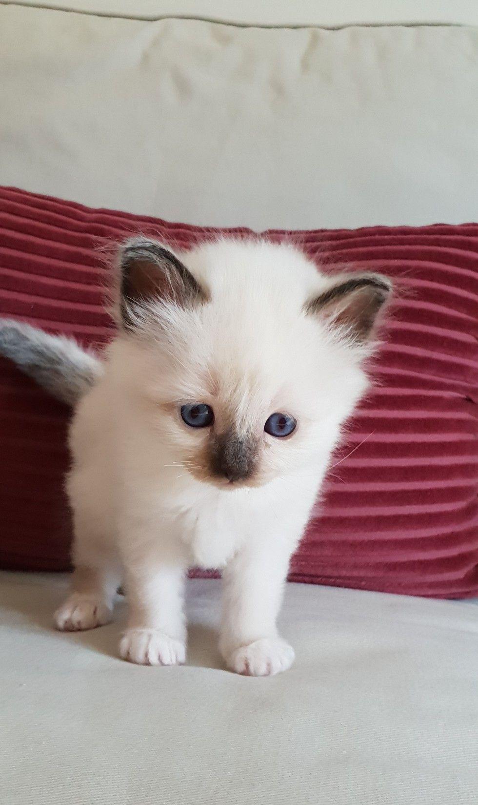Birman Kitten Sir Diego Divine Chintei Seal Point 3 Weeks Old Birman Kittens Birman Cat Kitten