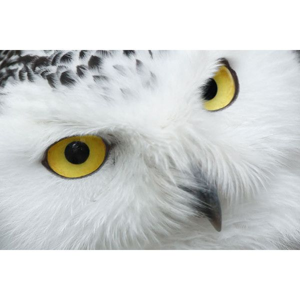 Snowy Owl Eyes ❤ liked on Polyvore featuring backgrounds