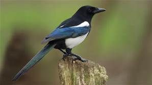 magpie - Yahoo Image Search results
