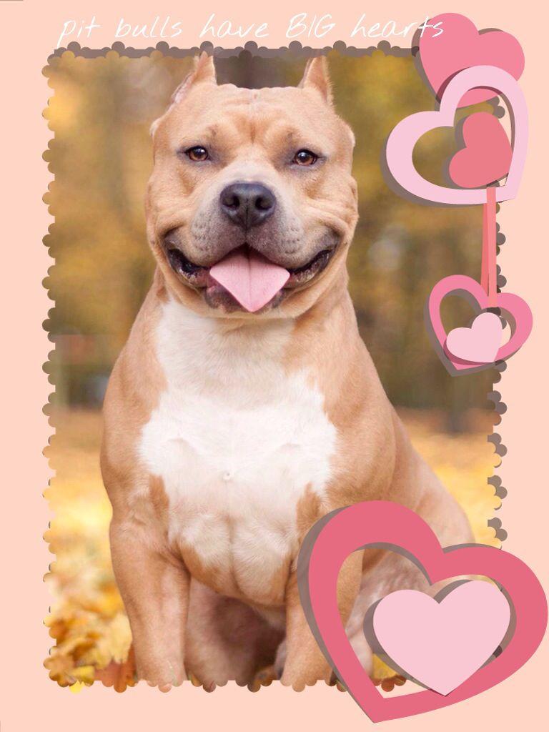 Pit Bulls Pitbulls Pitbull Dog Pitbull Wallpaper