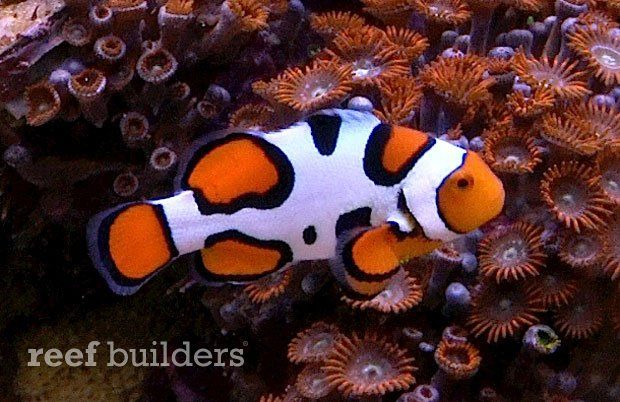 Kevin Kohen S Picasso Clownfish Are The Pinnacle Of Designer Perculas Reef Builders The Reef And Marine Aquarium Clown Fish Marine Fish Tanks Marine Fish