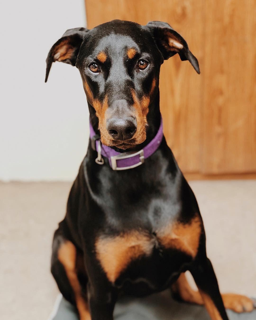 Delta Leah Gsp Doberman Dog Family Dog Good Dog Dog