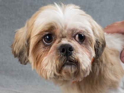 Adopt Carry, a lovely  Dog available for adoption at Petango.com.  Carry is a Shih Tzu and is available at the National Mill Dog Rescue in Colorado Springs, Co. www.milldogrescue... #adoptdontshop #puppymilldog #rescue #adoptyourfriendtoday