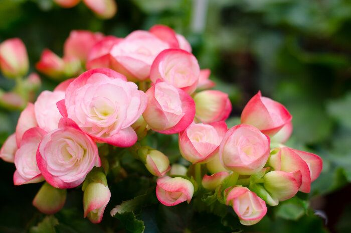 Begonia Flower Flowers Begonia Plants