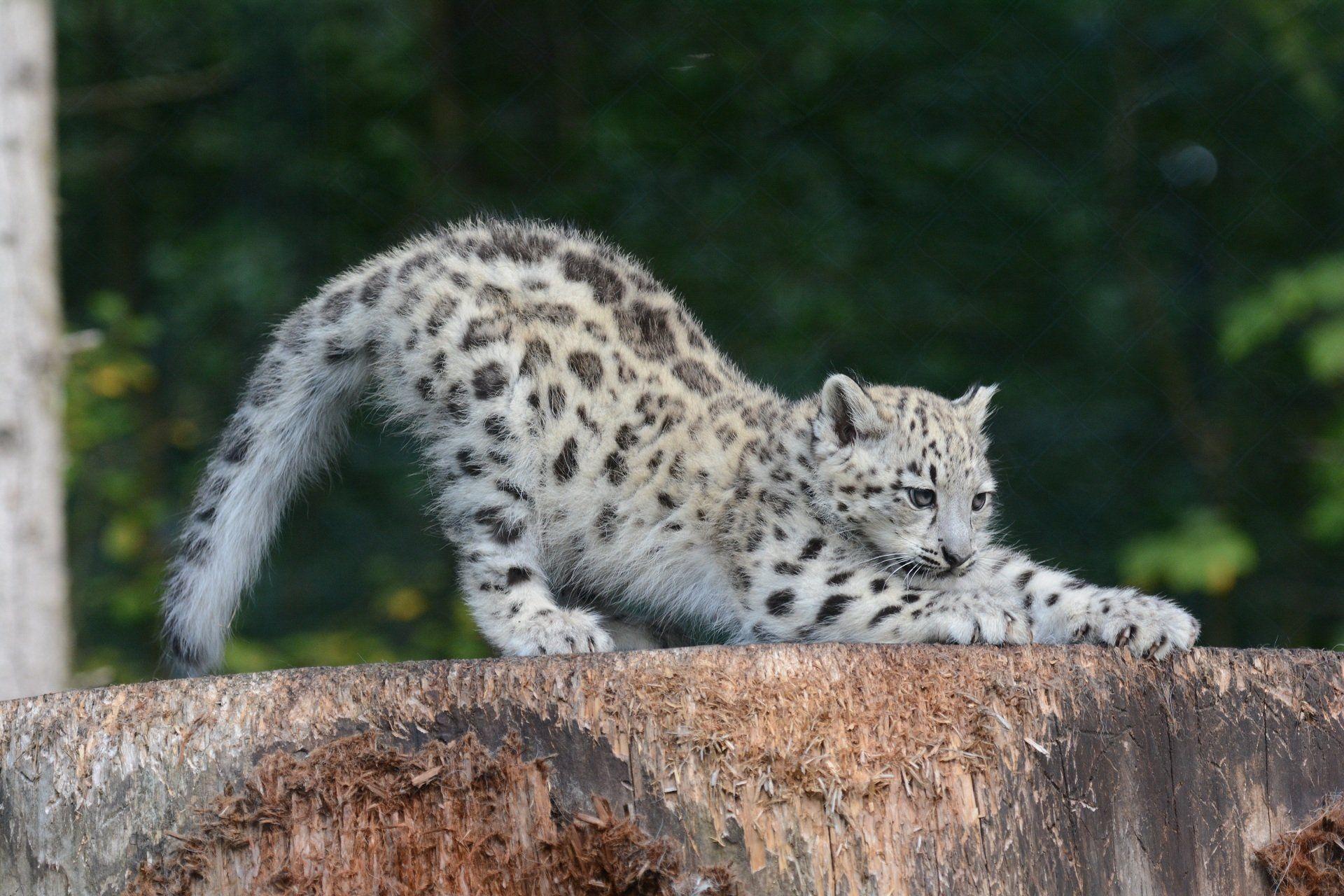 Cute Baby Snow Leopard Wallpaper