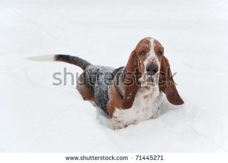 Image detail for -Funny Basset Hound In The Snow Stock Photo 71445271 : Shutterstock