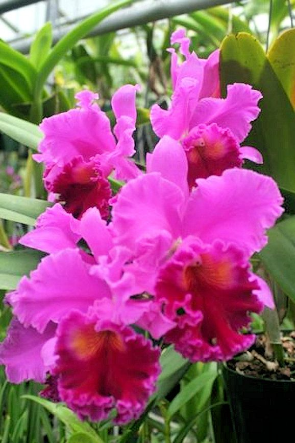 Cattleya Orchid Orchid Flower Amazing Flowers Cattleya Orchid