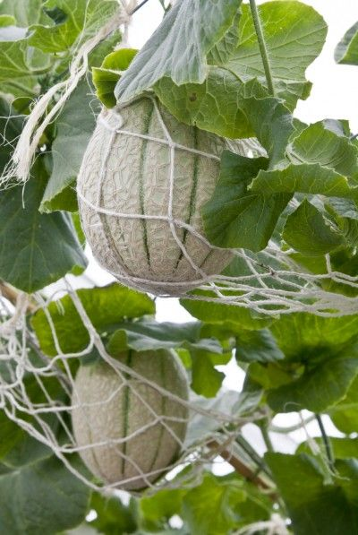 Container Grown Cantaloupe: Care Of Cantaloupe In Pots | Lovers ...