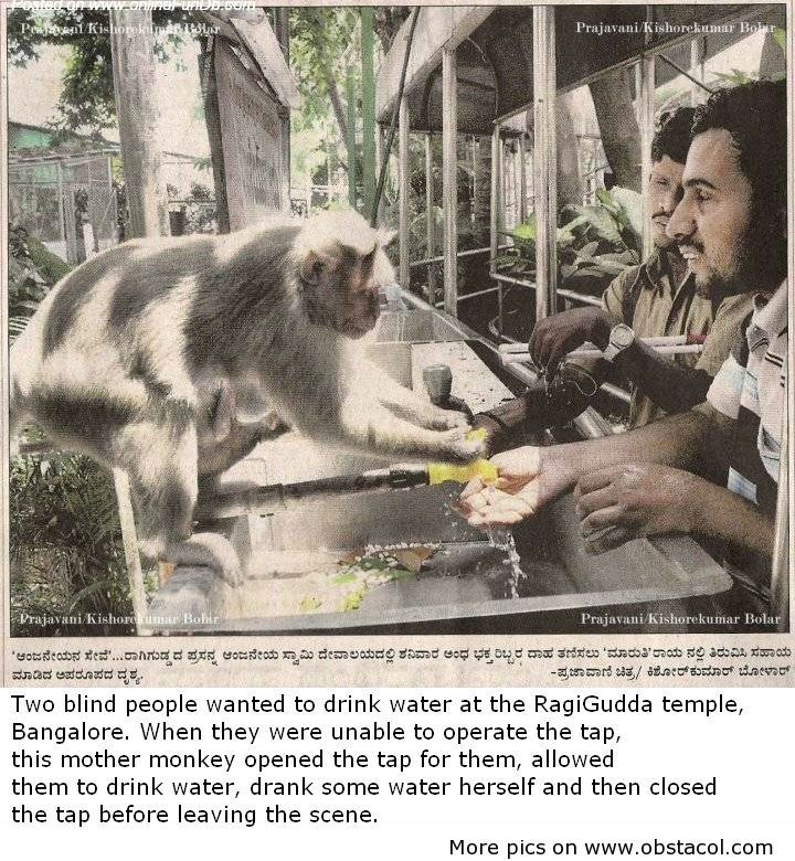 Two blind people wanted to drink water at the RadiGudda temple, Bangalore. When they were unable to operate the tap, this mother monkey opened the tap for them, allowed them to drink water, drank some water herself and then closed the tap before leaving the scene.