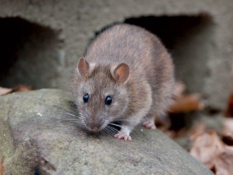 Eastern Wood Rat | MAM...
