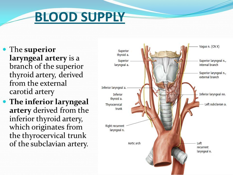 Hgb Blood To Recurrent Laryngeal Nerve Yahoo Image Search Results