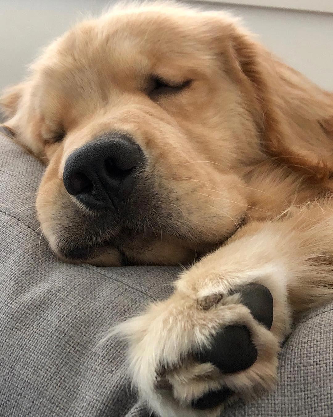 Chester On Instagram Doin Me A Smooshy Sunday Snooze Boop Dailyfluff Pugs Cute Baby Animals Retriever Puppy Dogs