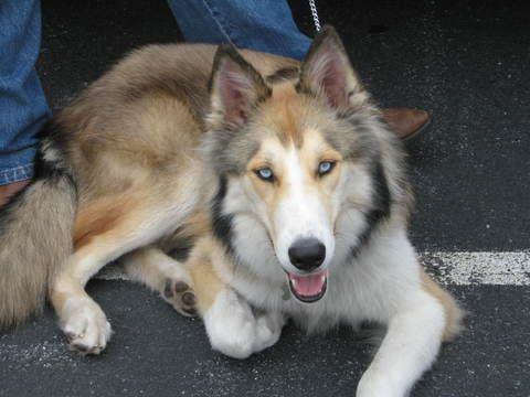 rough collie and siberian husky mix Sharp individual | dogs