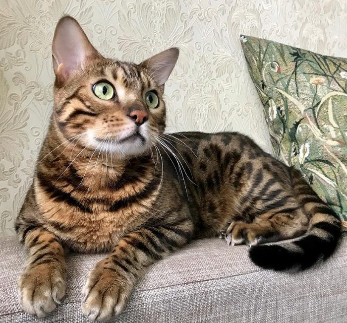 60 Best Bengal Cat Names Bengal cat, Bengal cat names