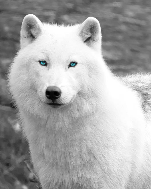 White Wolf Dog With Blue Eyes For Sale