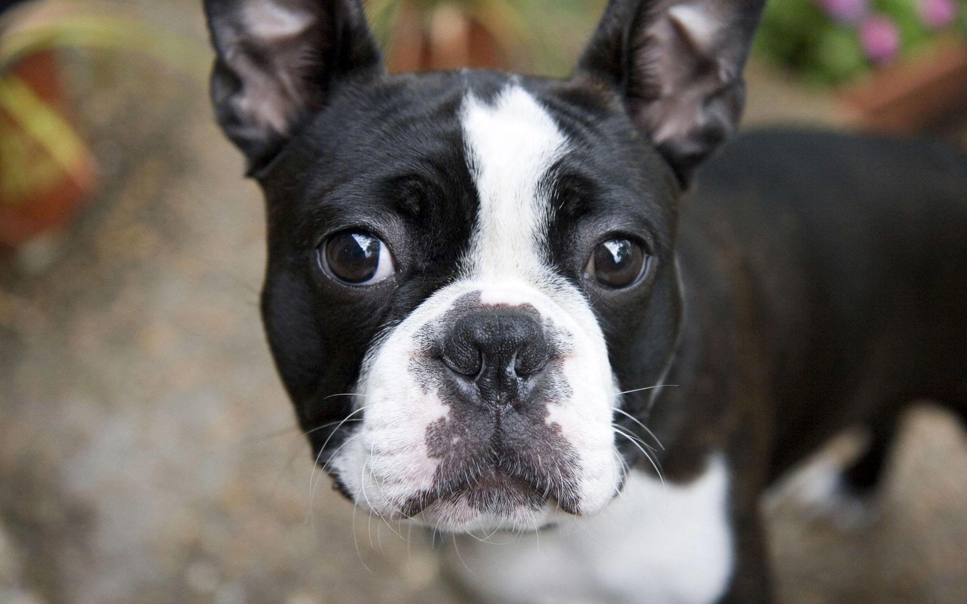 Animal French Bulldog Dog Wallpaper Boston terrier names