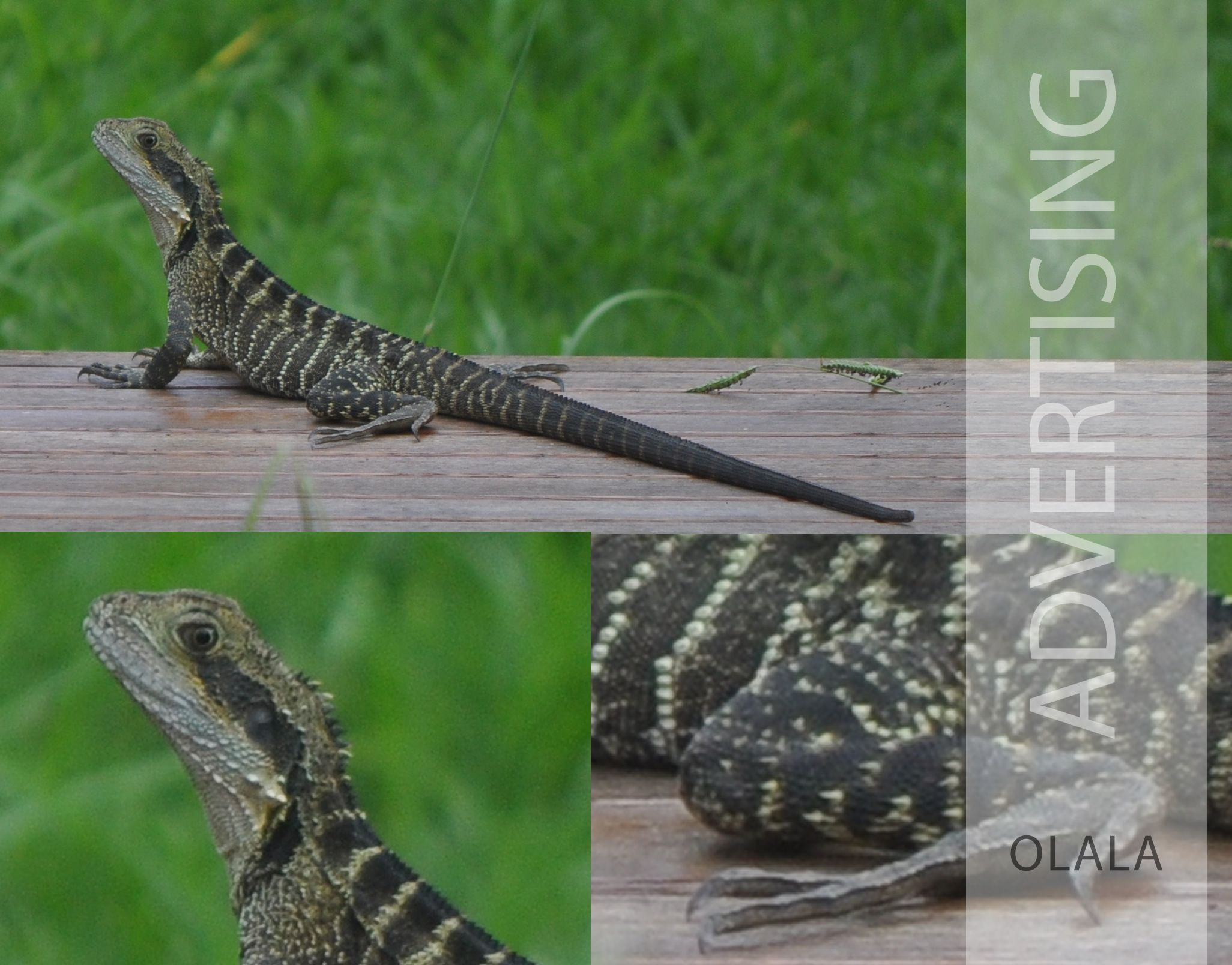 australian water dragon hunting in backyard its very common to be