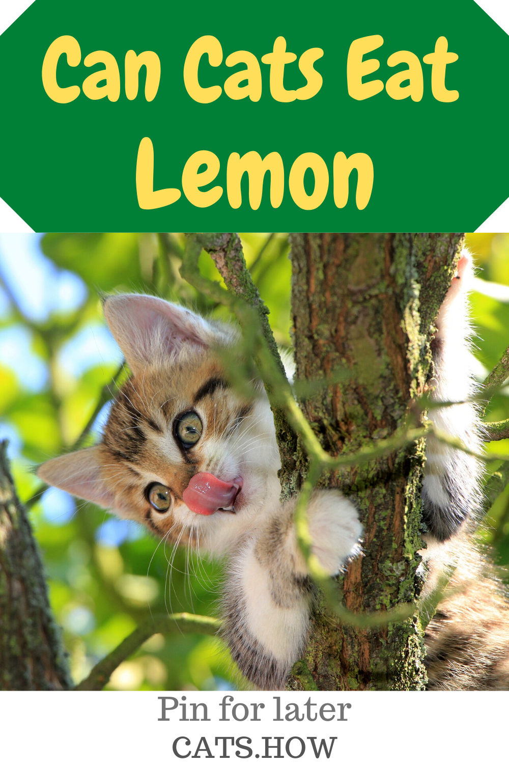 Can Cats Eat Lemon In 2020 Cats All Cat Breeds Kitten Care