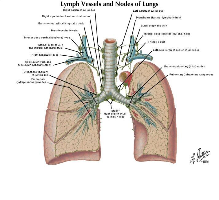 www.nhlcyberfamily.org images lung.jpg | booking | Pinterest | Lungs ...