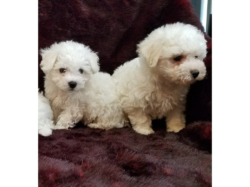 Bichon Frise Puppies Petland Bradenton Bichon Frise Puppies For
