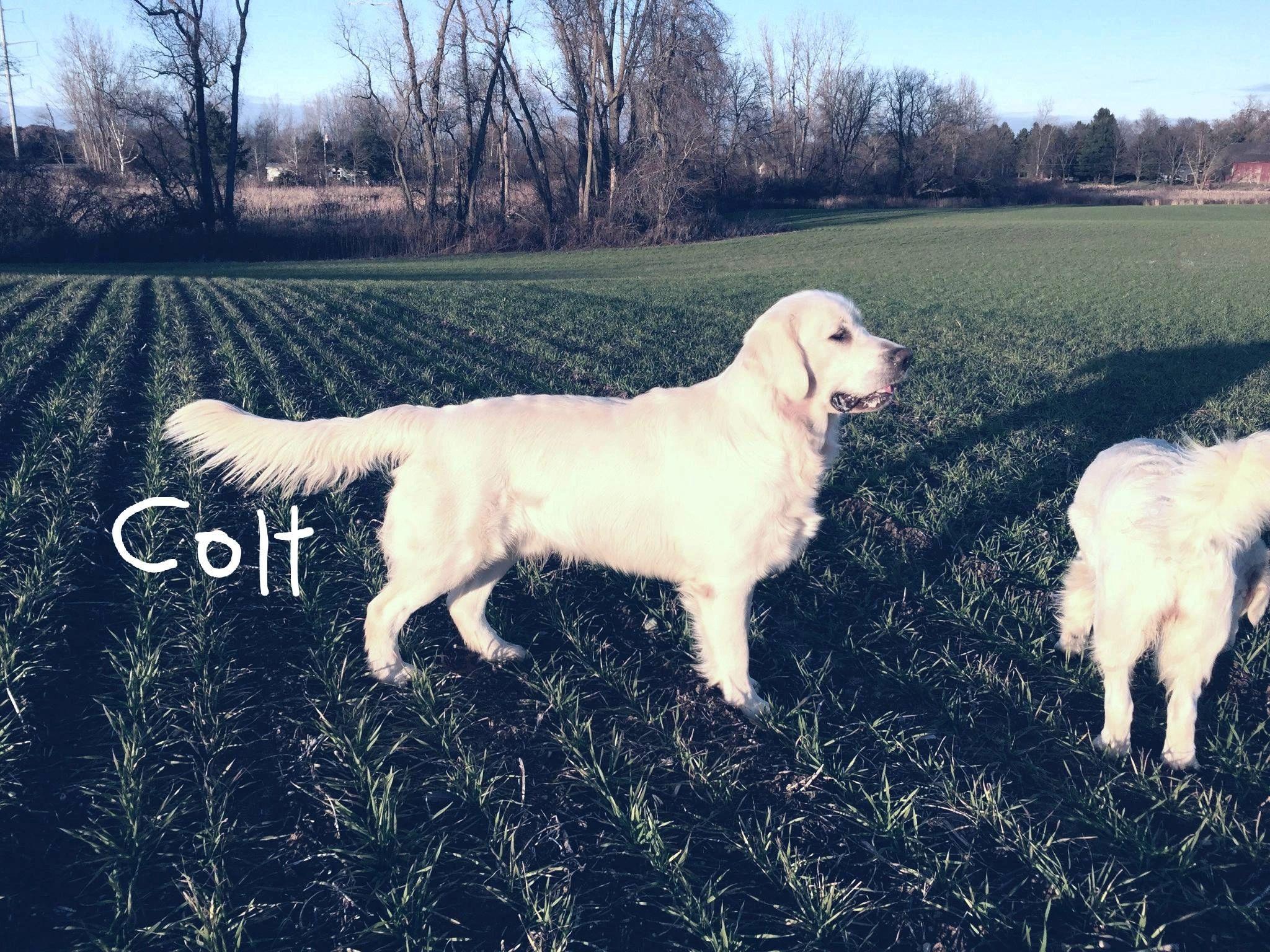 Golden Retriever Puppies For Sale Michigan A Small Farm Specializing In Pre Spoiled English Style Golde Dogs Golden Retriever Golden Retriever Retriever Puppy