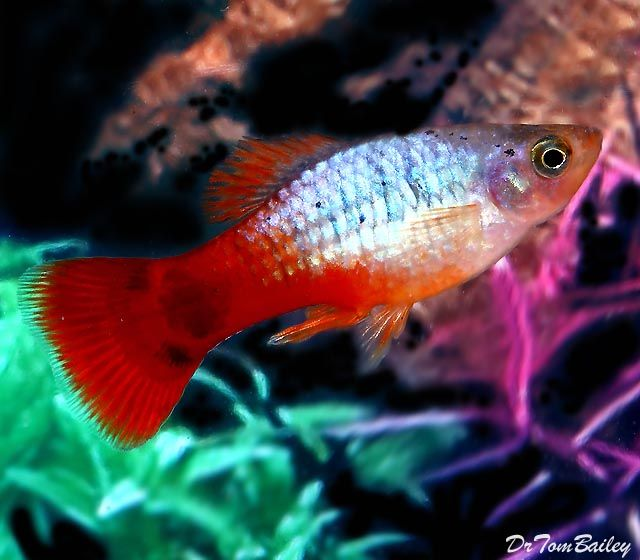 Awesome male metallic mickie mouse platy a really for Platy fish breeding