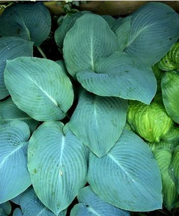Hosta Blue Mammoth Hostas Foliage Plants Plantain Lily