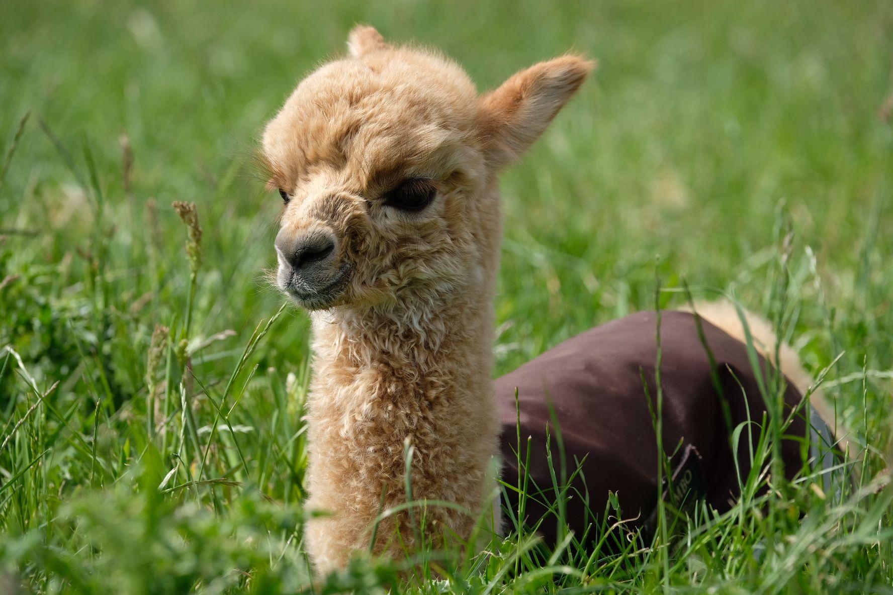 Kleines Baby Alpaka Hundebabys Susse Tiere