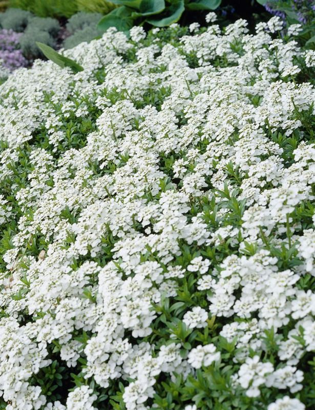 Iberis Sempervirens Snow Cone Zone 3 9 Flowers White Clusters Blooms 2 4 Weeks Starting April Foliage Dark Gree White Gardens Rock Garden Plants Plants