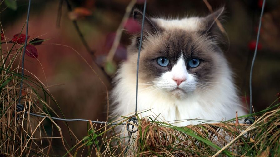 Beautiful Blue Eyes White Cat Wallpaper Free Download