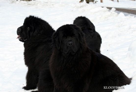 Newfoundlands The Newfoundland Is A Working Dog Newfoundlands