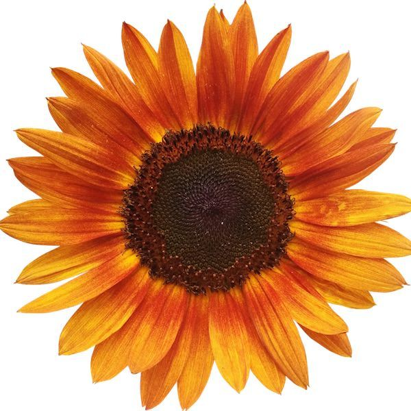 Little Tiger dwarf sunflower | Gardening / Inside the Home ...