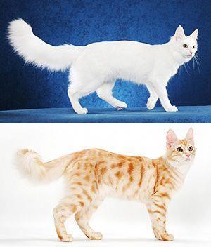 Turkish Angora picture #angoracats