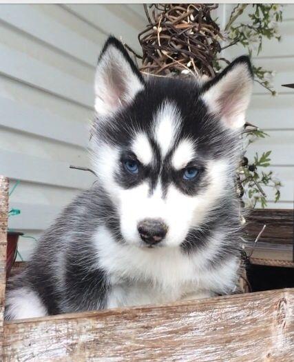 Huskies For Sale In Ohio : huskies, Siberian, Husky, Puppy, BEAVER,, ADN-26621, PuppyFinder.com, Gender:, Female., Weeks, Puppy,, Puppies, Sale,