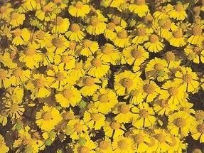 Pase Seeds - Helenium Goldfield Annual Seeds, $3.49 (http://www.paseseeds.com/helenium-goldfield-annual-seeds/)