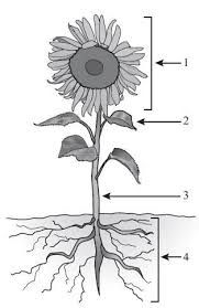 image result for parts of a sunflower diagram sunflowers Parts of a Loom Diagram image result for parts of a sunflower diagram