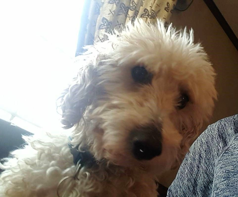 Cockapoo dog for Adoption in Binghamton, NY  ADN-532591 on