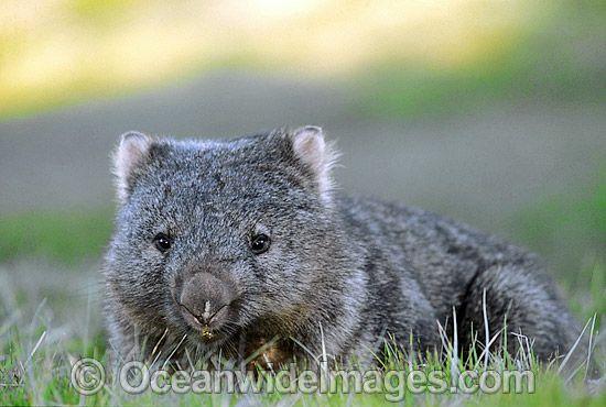 Common Wombat (Vombatus ursinus). Cradle Mountain, Tasmania, Australia Photo Copyright: © OceanwideImages.com
