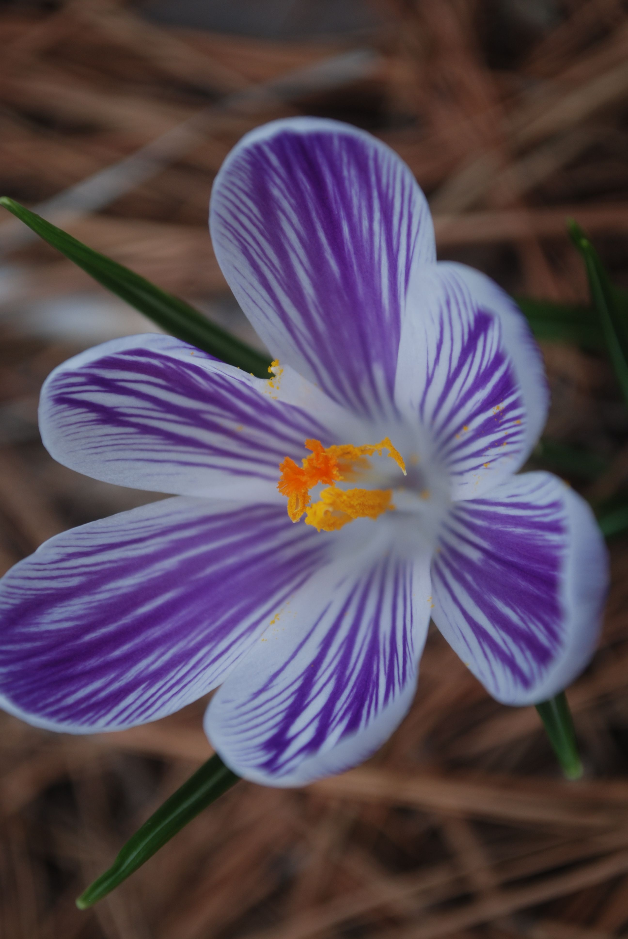 The Pale Purple To Magenta Four Petaled Flowers Bloom From March To May Purple Flower Names Narcissus Flower Purple Flowers