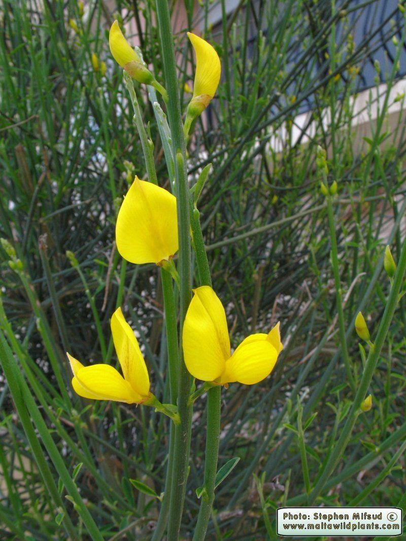 Spartium Junceum Spanish Broom ġenista Safra Fiori