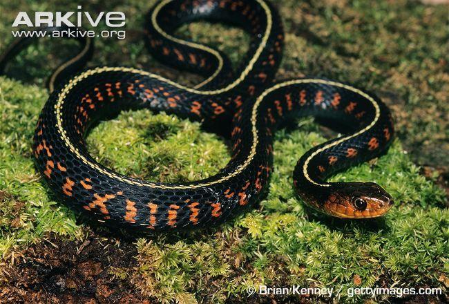 Common Garter Snake Photo Thamnophis Sirtalis G83131 Arkive Snake Photos Snake Beautiful Snakes