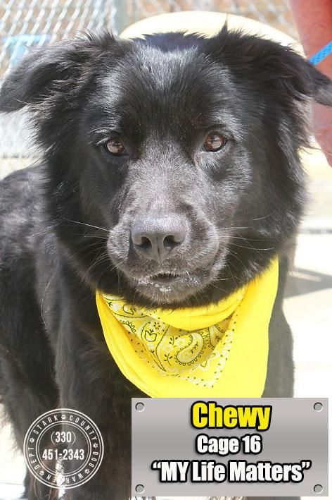 Adopt 16 Chewy Adopted On Collie Dog Animal Rescue Adoption