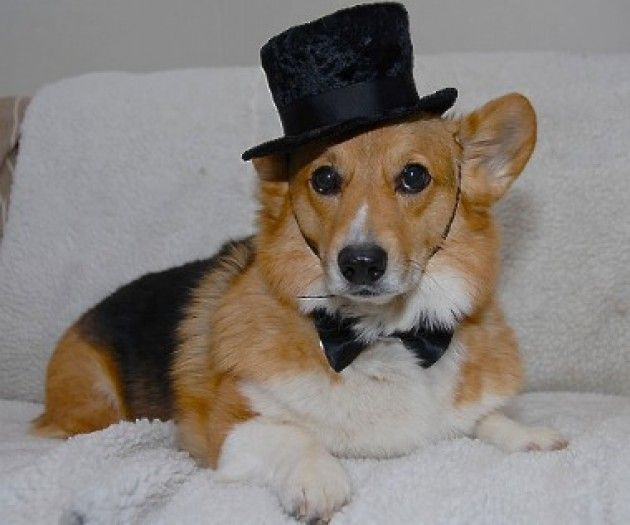 This Dapper Corgi Is Certainly Puttin On The Ritz Pet Costumes
