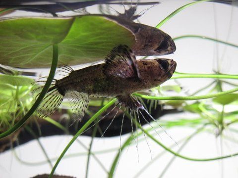 African Butterfly Fish Pantodon Buchholzi Tropical Fish Fish African