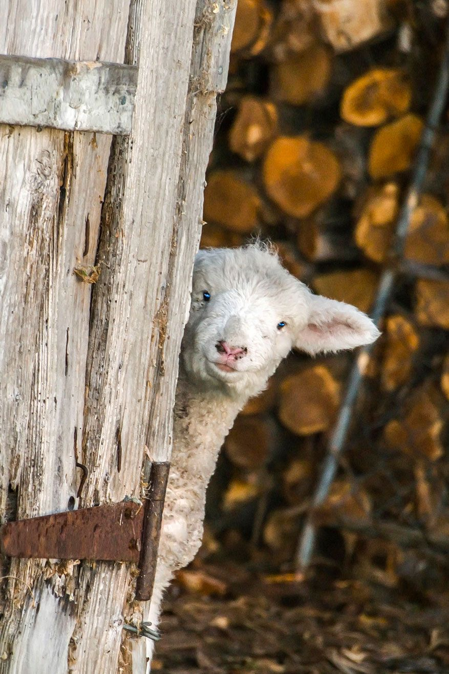 FARMHOUSE – ANIMALS – a lamb cautiously peers around a corner before advancing.