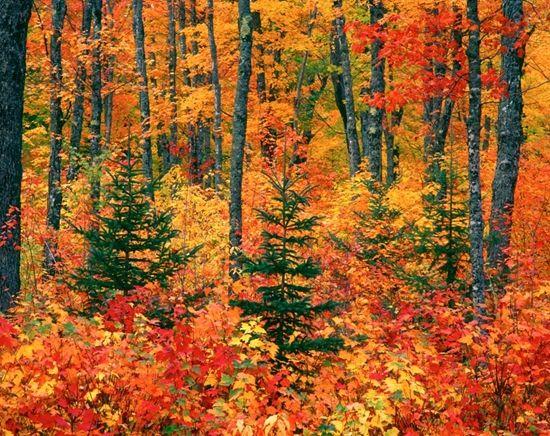 Autumn In The Upper Peninsula, Michigan Mural · Beautiful ForestAutumn  ForestWall ... Part 60