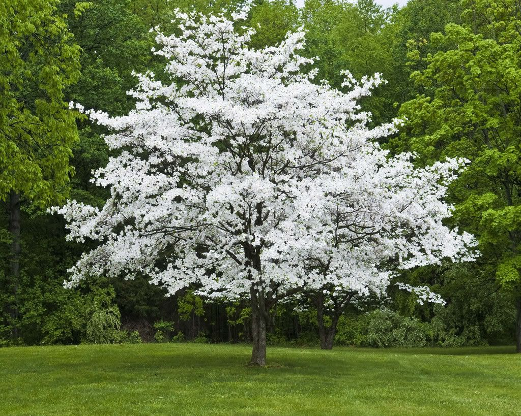 Dogwood Tree White flowering trees, Dogwood trees
