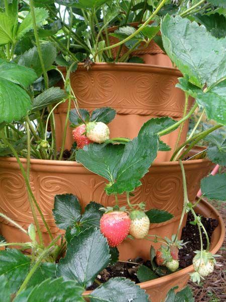 Grow A Strawberry Fountain Bonnie Plants Strawberry Plants Garden Plants Design Plants