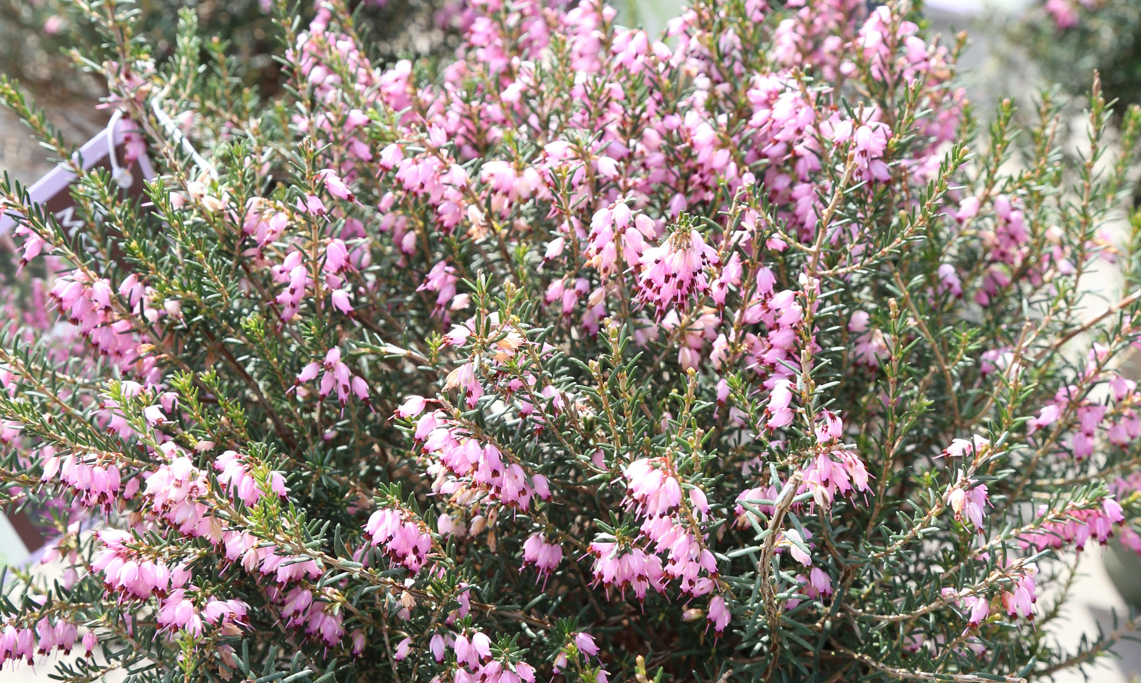 Mediterranean Pink Heather This Mounding Evergreen Shrub Establishes Quickly For A Fine Dense Ground Cover Or Border It Offers Plants Evergreen Shrubs Bloom